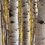 """Aspen Trunks 2"" by dkocherhans"