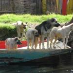 """Xochimilco Mexico: Dogs"" by Evilkid"