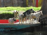 Xochimilco Mexico: Dogs
