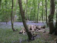 Bluebell Wood In Early Summer