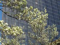 Cherry Blossoms on a High Rise