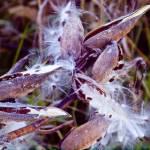 """Milkweed"" by janesprints"