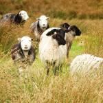 """One Happy Sheep"" by stewak"