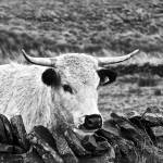 """Cow"" by stewak"