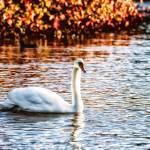 """""""Swan"""" by stewak"""