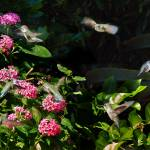 """Humming Bird Dinner Party"" by steveondrusphotography"