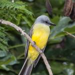 """Tropical Kingbird"" by puravidaviews"