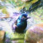 """Grackle Splash"" by kcam"