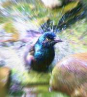 Grackle Splash