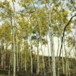 """Aspen forest in spring"" by Piri"