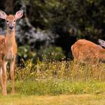 """Rainy Day Twin Fawns"" by Photostahre"