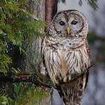 """Barred Owl"" by Photostahre"
