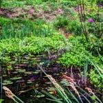 """Lily pond Devon 1"" by Curtis"