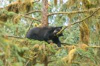 Sleeping Bear in Tree