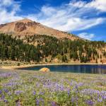 """Lupines Lake Helen And Mount Lassen"" by jameseddy"