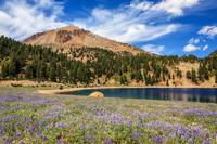 Lupines Lake Helen And Mount Lassen