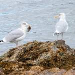 """Two Gulls and a Crab"" by Photostahre"