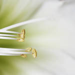 """""""AMARYLLIS TENTICLES 1"""" by edesigns15"""