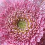 """Light On Gerbera In All its Glory"" by edesigns15"