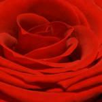 """""""Scarlet Macro Rose"""" by edesigns15"""