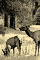 Family of Elk