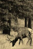 Bull Elk, Grand Canyon Forest