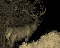 Majestic Bull Elk at Night
