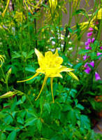 Yellow Columbine Pride
