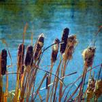 """Cattails"" by angelandspot"