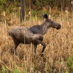 """Algonquin Moose Calf"" by PeterEbyPhotography"