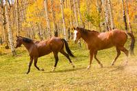 Wild Trotting Autumn Horses