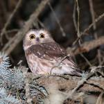 """Saw-Whet Owl"" by PeterEbyPhotography"