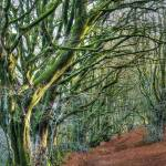 """Trees in Forest Devon"" by Curtis"
