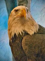bald-eagle-bird-haliaeetus-leucocephalus mod 1