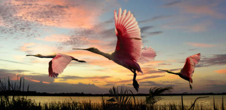 The Roseate Spoonbills of Lake Tarpon