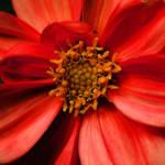 """orange dahlia june 09 280 k"" by edesigns15"