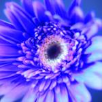 """Purple Gerbera Daisy"" by newimage"