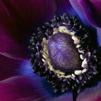 anemone flower by julie scholz