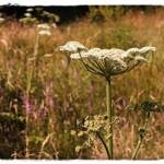 """Queen Annes Lace"" by carol29hynes"