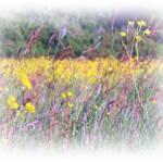 """Buttercup Meadow"" by carol29hynes"