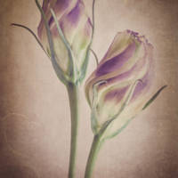 Lisianthus in Bud Art Prints & Posters by Dawn LeBlanc