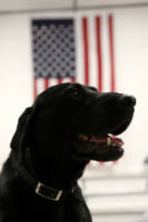 All-American Black Labrador Retriever