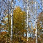 """Tall Birches"" by braided"