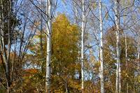 Tall Birches
