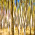 """Surreal Aspen Tree Abstract"" by lightningman"