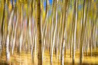 Surreal Aspen Tree Abstract