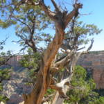 """Trees on the Edge of Grand Canyon 0005"" by TomBellEagleWing"