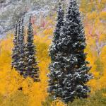 """Autumn Pines"" by dkocherhans"