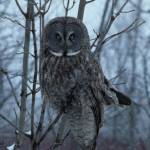 """In The Sights - Great Gray Owl"" by MorelandPhotography"