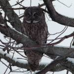 """Perched - Great Gray Owl"" by MorelandPhotography"